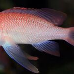 ANTHIAS-ANTHIAS-tres-colas-calabardina-cabo-cope
